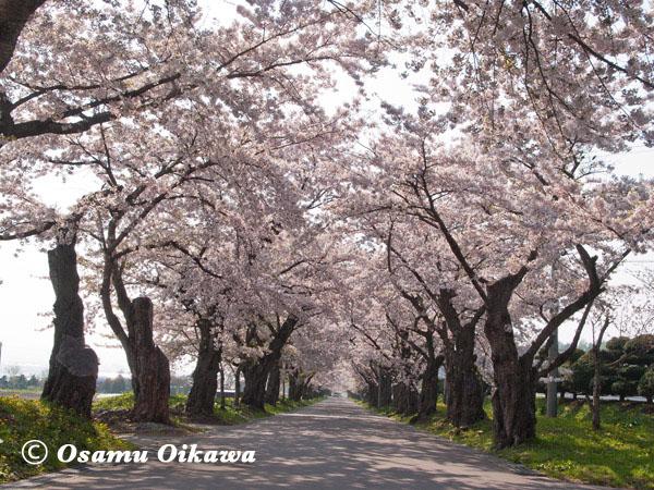 松前藩戸切地陣屋桜並木