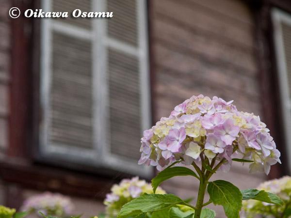 函館元町 紫陽花