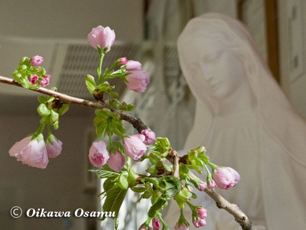 桜とマリア様