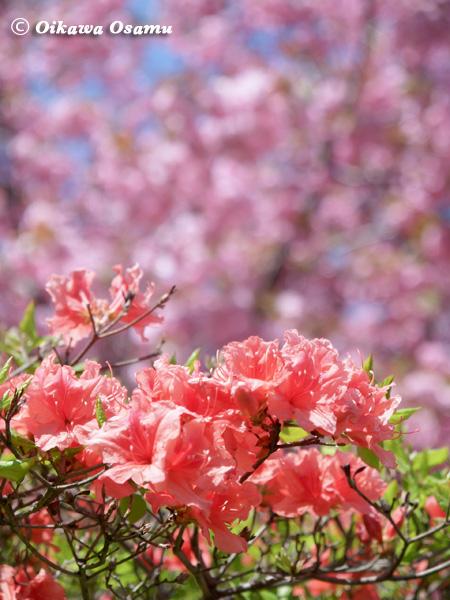 森町 つつじと桜 2004