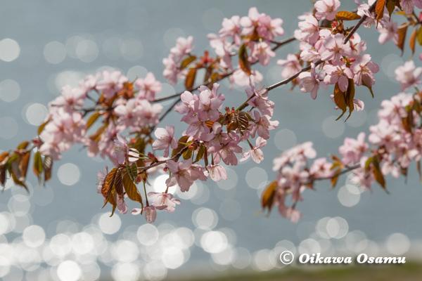 北斗市 桜の風景