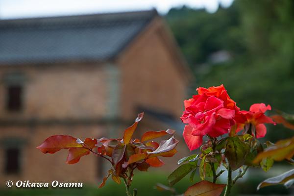 元町公園9月末 バラ