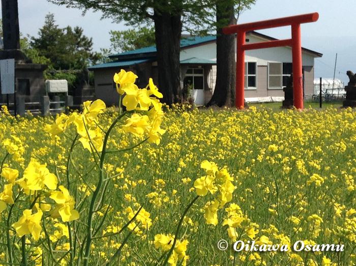 菜の花 千代田地区 2015