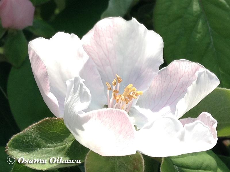 マルメロの花 2015
