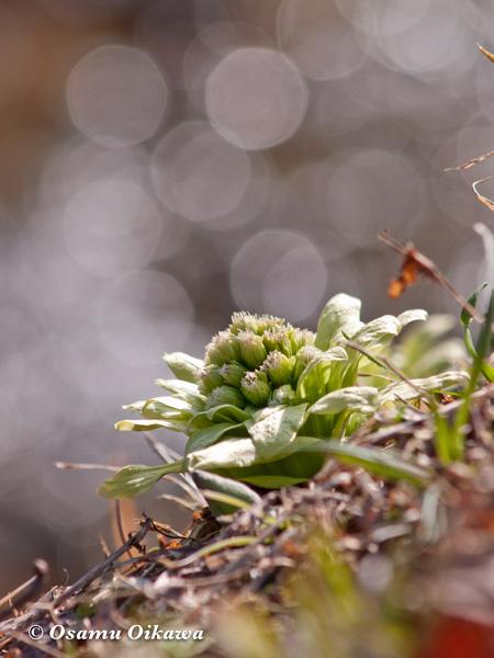 春のふきのとう