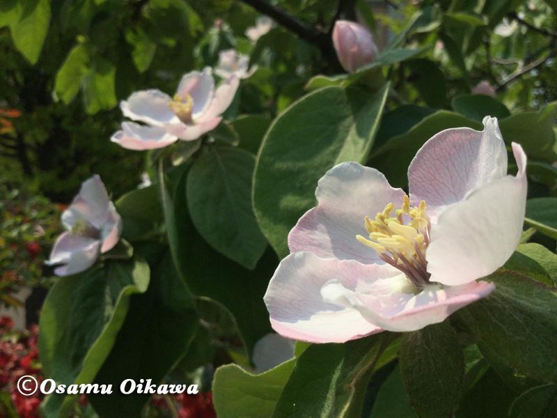 マルメロ 花