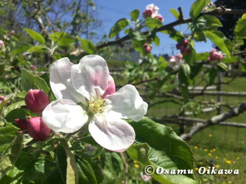 七飯町 りんごの花