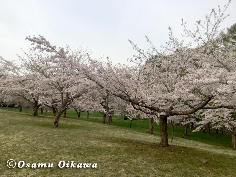北斗市 八郎沼公演 桜