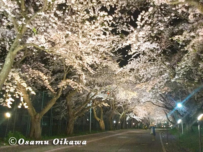 北斗市 桜回廊 2016