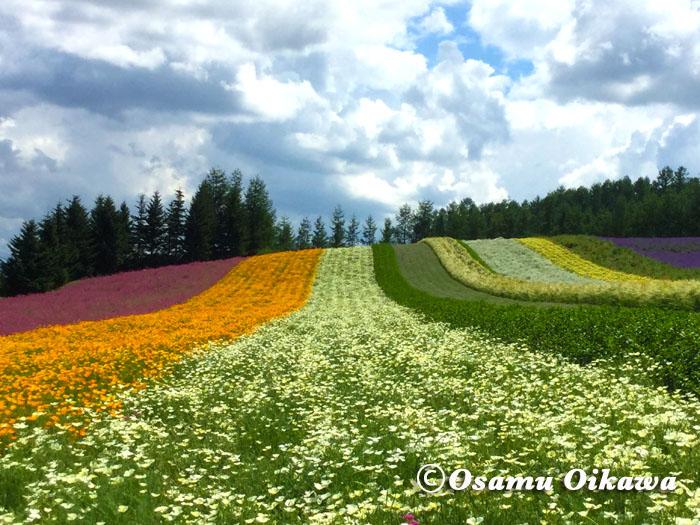 中富良野町 ファーム富田 彩りの畑