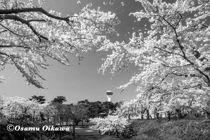 2017 桜 モノクロ 五稜郭公園